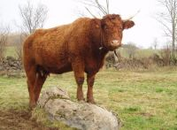 vache salers cantal